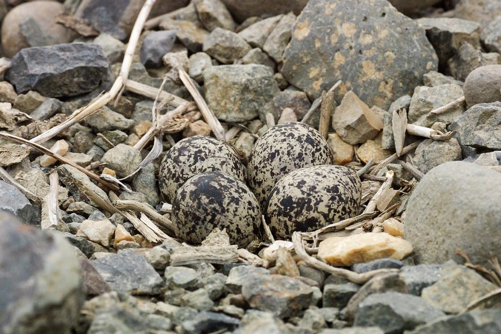 Four killdeer eggs in a gravel nest