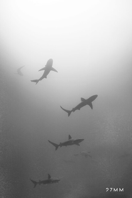 TO MY FATHER: Galapagos Sharks in Galapagos