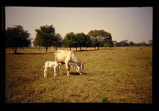 痩せた母牛と小牛が乾季の圃場で