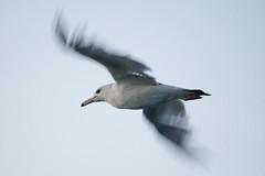Sea Gull ADSC_0237