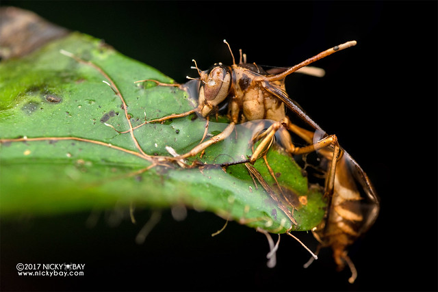 Wasp infected by cordyceps fungus - DSC_8083