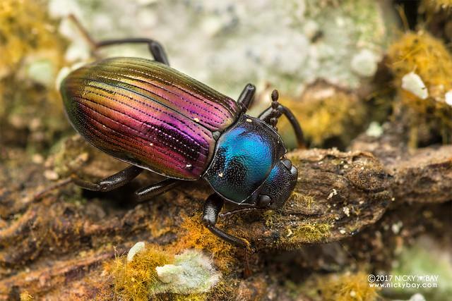 Darkling beetle (Plamius pici) - DSC_8047