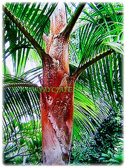 Dypsis leptocheilos (Redneck Palm, Teddy Bear Palm, Red Fuzzy Palm) is a medium-sized palm that reaches between 7-10 m tall, 7 Sept 2017