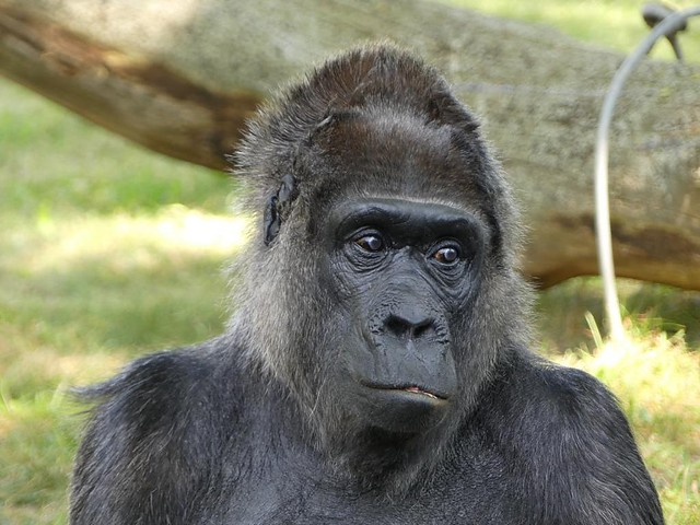 Gorilla Fatou, Zoo Berlin