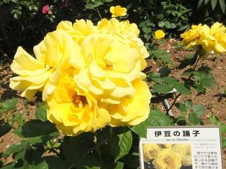 谷津バラ園の薔薇 08