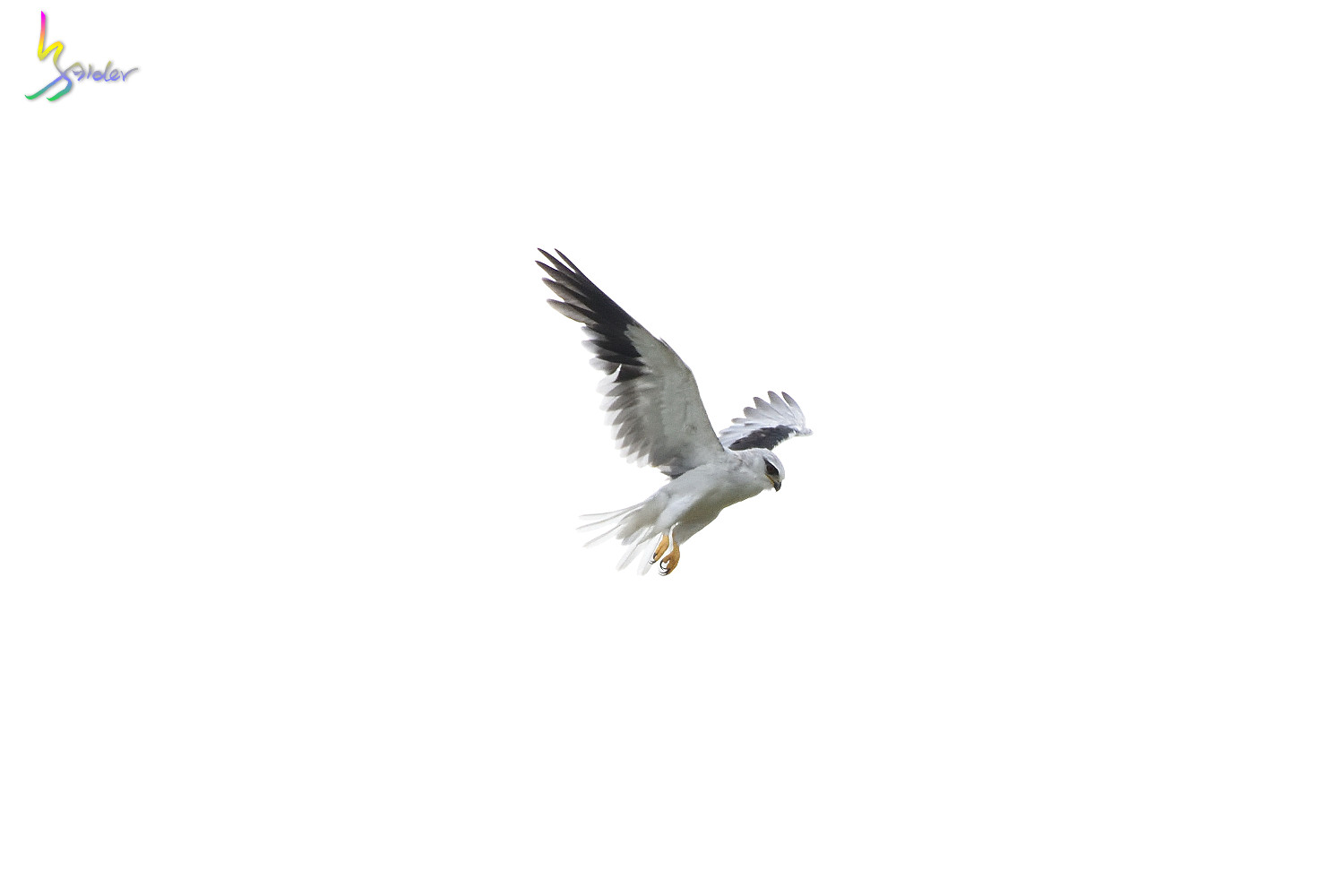 Black-winged_kite_5682