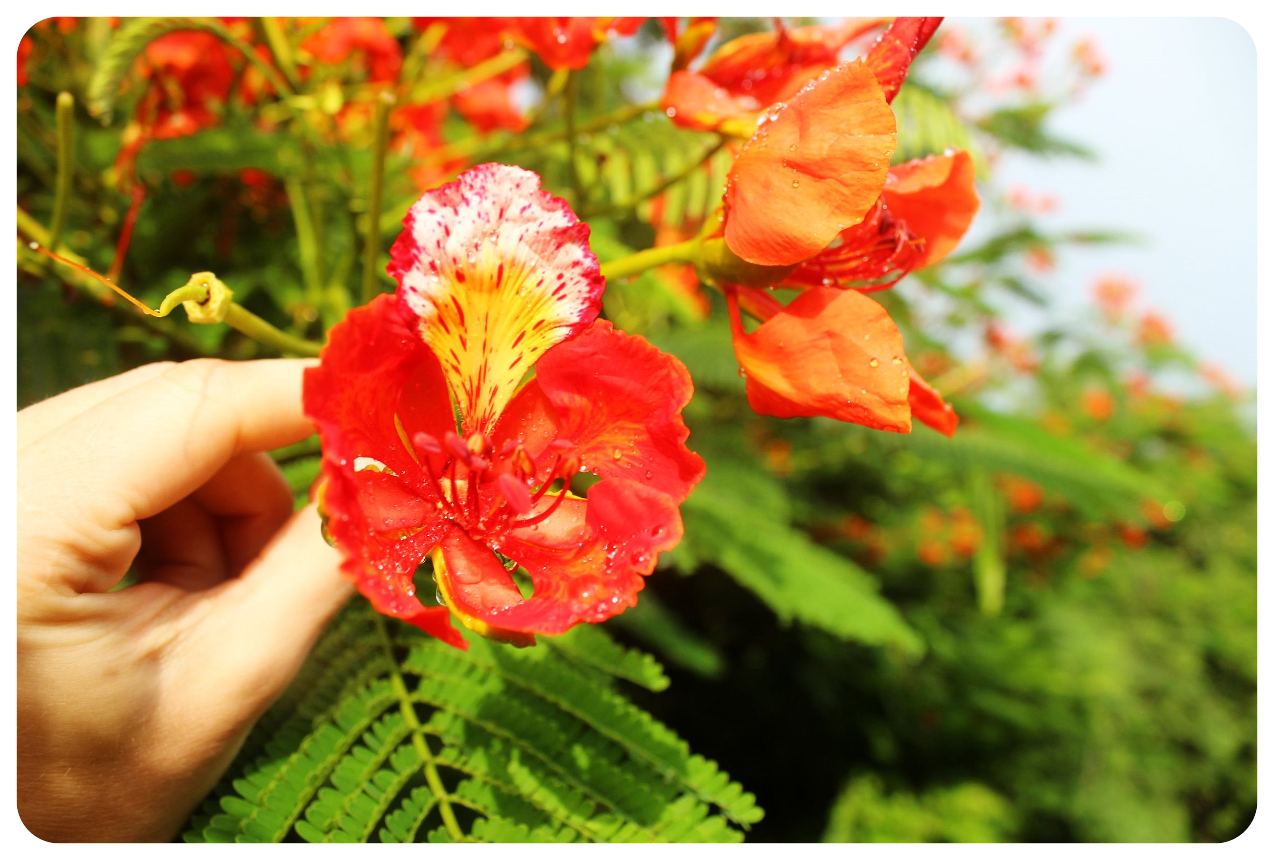 manglaralto flowers