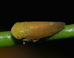 Bronze olive spur legged plant hopper Ipoini sp Cicadellidae Airlie Beach rainforest P1050179