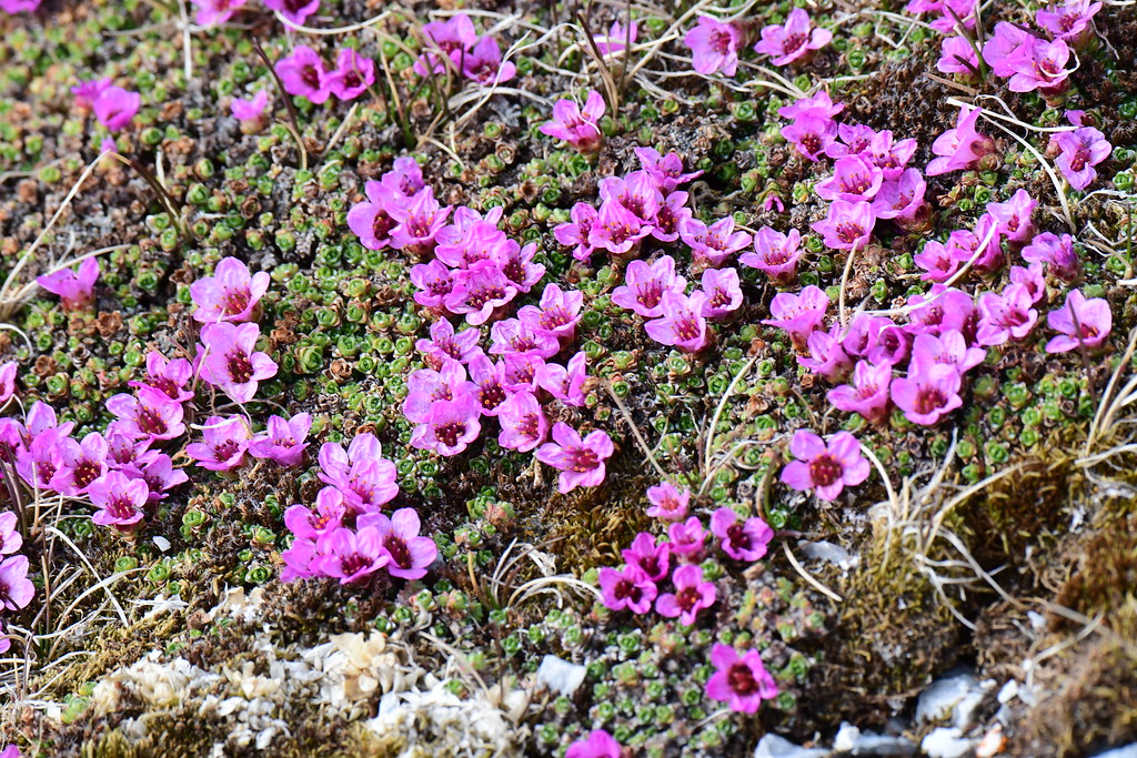 Flowers at Hornsund, Spitsbergen
