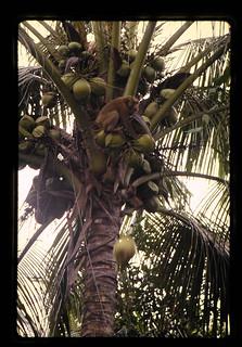 サルの椰子の実落とし