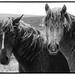Datmoor ponies