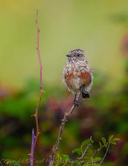 Stonechat - Juvenile - (Saxicola torquata)