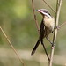 Small photo of Spiny-cheeked Honeyeater (Acanthagenys rufogularis)