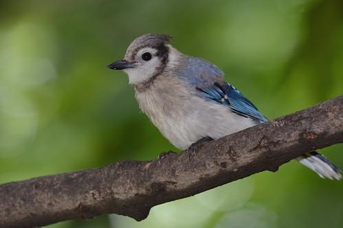 Blue Jay (Juv.)