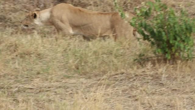 Lion_creepin
