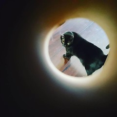 #catsolareclipse so this Pippin Sirius cat solar eclipse lol