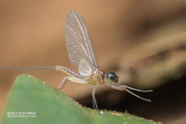 Mayfly (Ephemeroptera) - DSC_8315