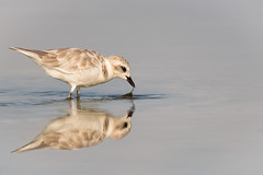 Snowy Plover, Lee County, FL
