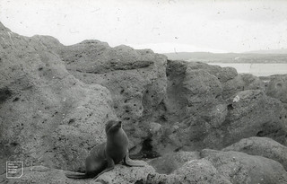 Southern fur seal alerted, Green Island, Otago, NZ, 1957