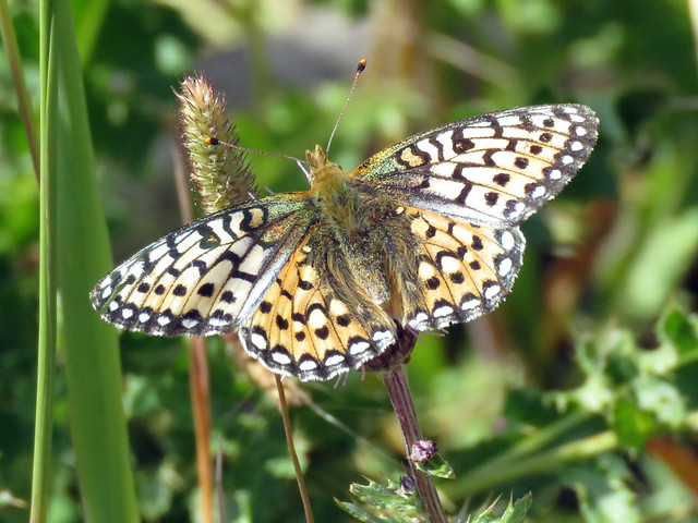 Edwards' Fritillary