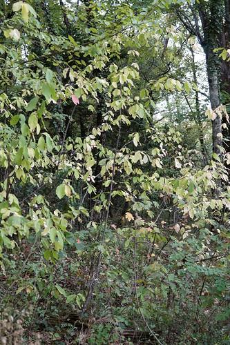 Euonymus latifolius - fusain à larges feuilles 36754616403_467220e81a