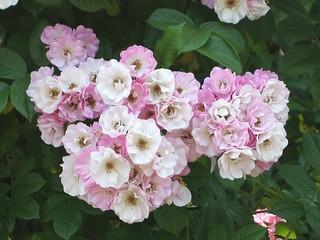 谷津バラ園の薔薇 11
