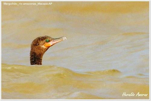 Mergulhão_orla rio amazonas_Macapá-AP
