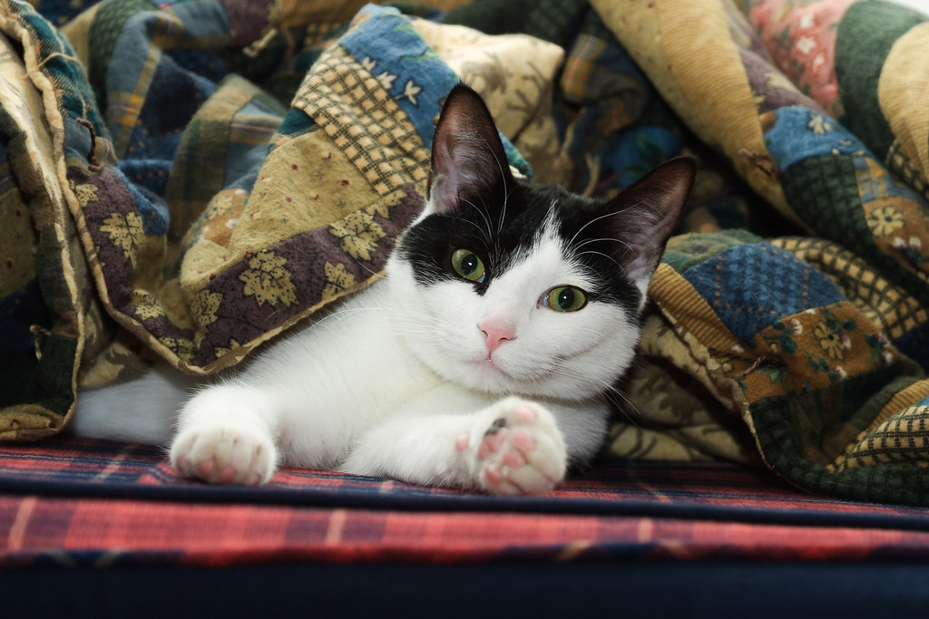Our black-and-white cat Scout under the blanket
