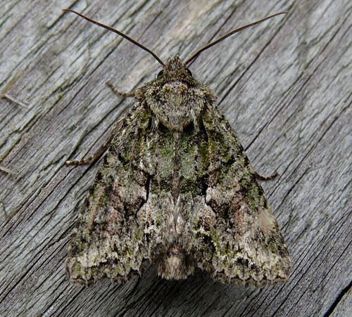 Brindled Green Dryobotodes eremita Tophill Low NR, East Yorkshire September 2017