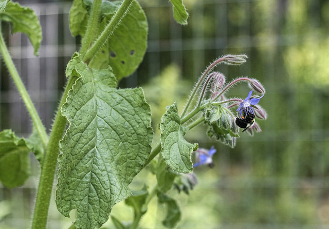 Bee & Borage