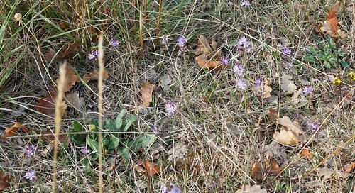 Prospero autumnale (= Scilla autumnalis) - scille d'automne 37394488972_a445a01880