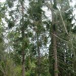 Araucaria bidwillii tree