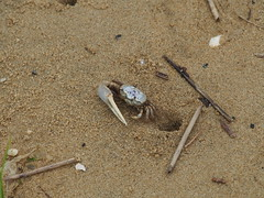 Rockaway crab