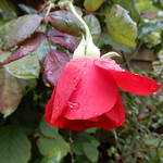 in the garden, after the rain