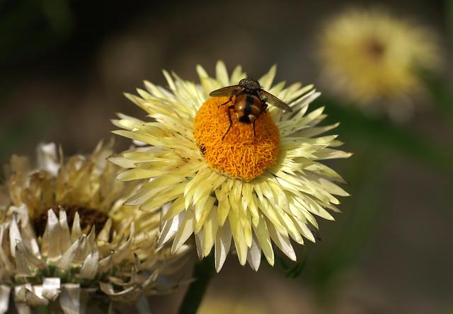 Strohblume, Garten- mit Schwebfliege, Sony DSLR-A100, Sigma 70mm F2.8 EX DG Macro