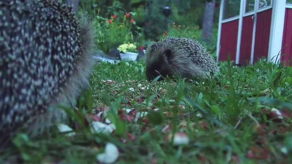 A short while with juvenile hedgehogs