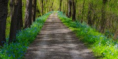 Bluebells, herald of spring