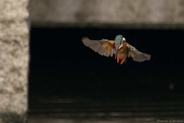 20170826-Kingfisher-DSC_0945