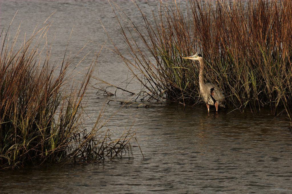 A great blue heron waits in a saltwater marsh at Huntington Beach State Park in South Carolina