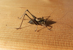 HolderFemale dark bush cricket (4)