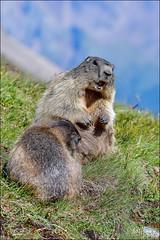Alpine marmot alerting