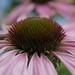 2017 08 05 - pink echinacea 1