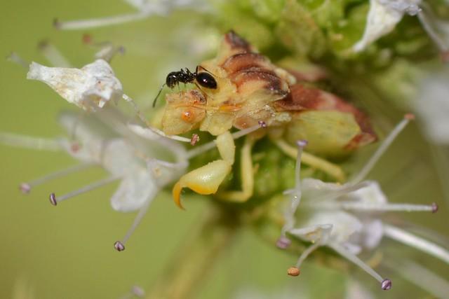 Ambush Bug with a tiny black ant on mint flowers