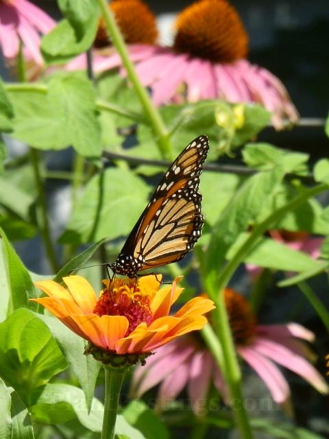 monarch8