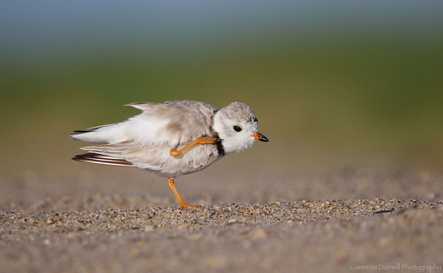 Piping Plover (Explored 9/24/17)