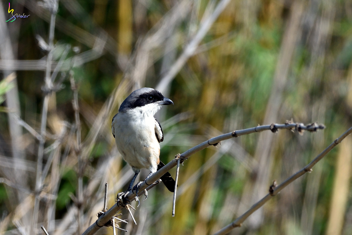Long_tailed_Shrike_9051