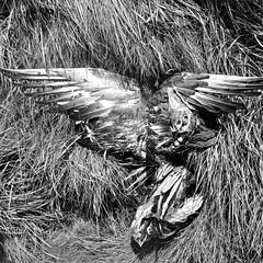 A goose carcass