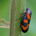 Cercopis vulnerata - the Red-and-black Froghopper