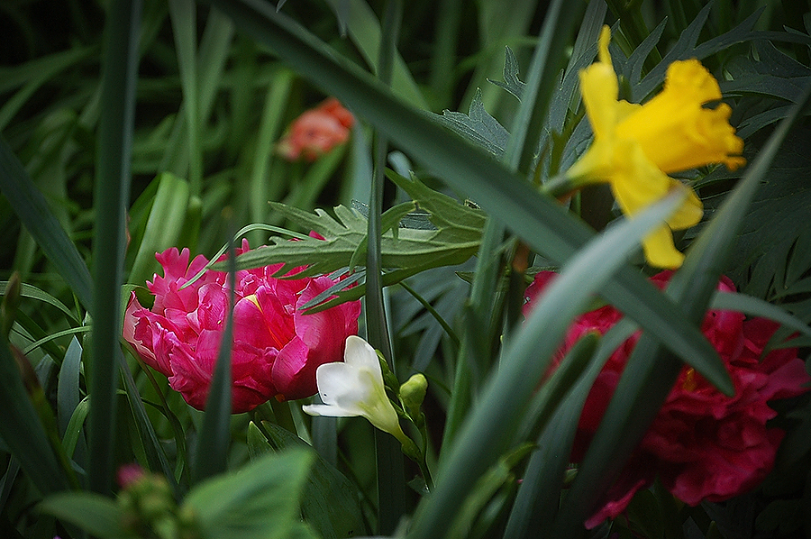 tulips_etc