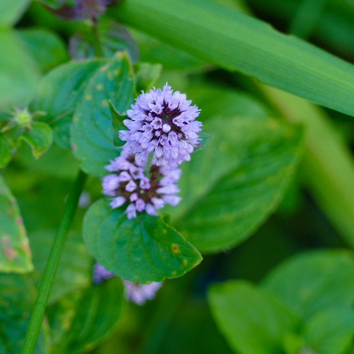 Blue in green: water mint flower